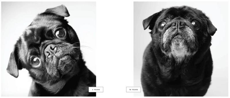 Cão Pug oito anos depois