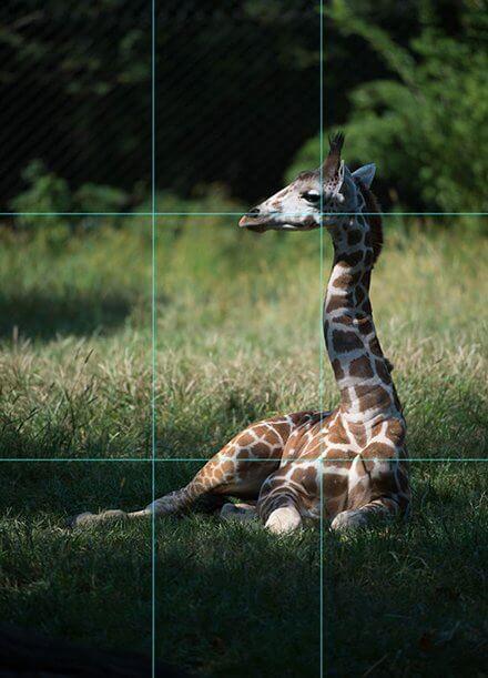Foto de girafa sentada na grama enquadrada com regra dos terços